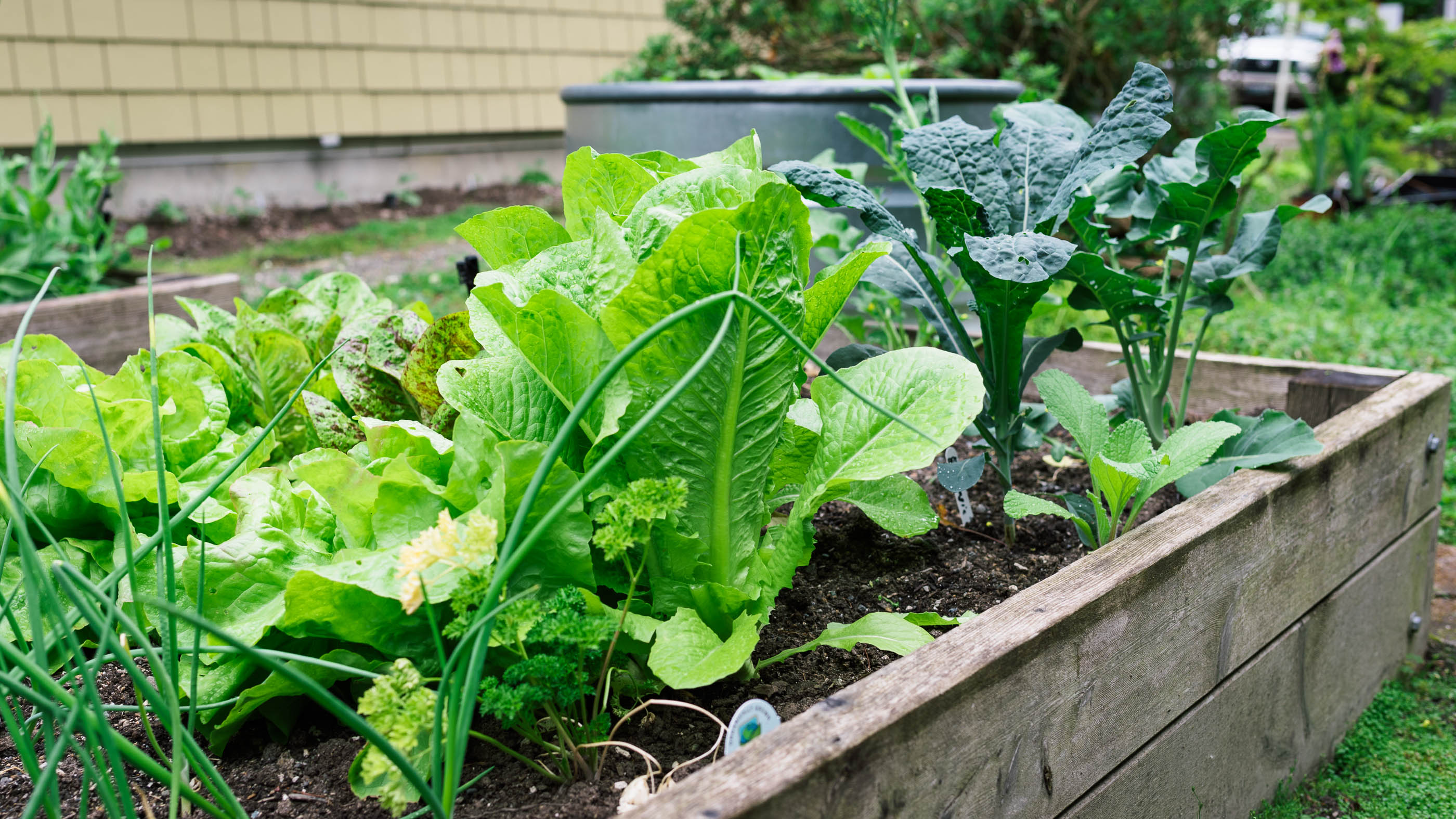 Lettuce and kale grow in a vegetable box